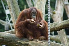 Het eten van Orang-oetan Oetan Stock Fotografie