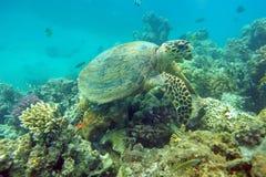 Het eten van overzeese schildpad Stock Afbeeldingen
