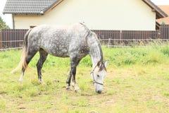 Het eten van paard Stock Afbeelding