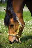 Het eten van paard Stock Foto