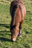 Het eten van paard op een geschermd weiland Royalty-vrije Stock Afbeeldingen