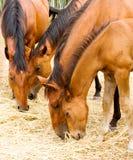 Het eten van paarden Royalty-vrije Stock Afbeeldingen
