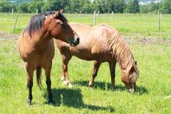 Het eten van paarden Stock Afbeeldingen