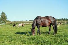 Het eten van paarden Stock Afbeelding