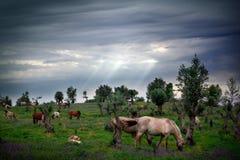 Het Eten van paarden Stock Foto's