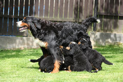 Het eten van puppy van de Hond van de Berg Bernese stock afbeelding