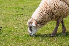 Het eten van schapen Stock Foto