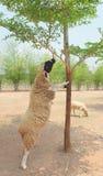 Het eten van schapen Stock Afbeeldingen