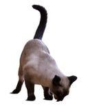 Het eten van Siamese kat Stock Foto's
