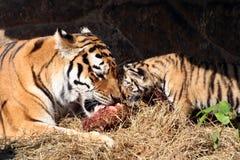 Het eten van tijgers stock afbeeldingen