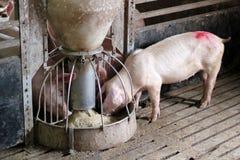 Het Eten van varkens stock afbeelding