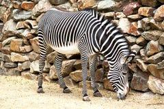 Het eten van zebra Stock Foto