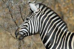 Het eten van Zebras Royalty-vrije Stock Foto