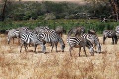 Het eten van zebras Stock Afbeeldingen