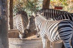 Het eten van zebras in dierentuin Royalty-vrije Stock Foto's