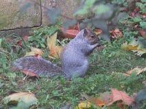 Het eten van zijn noten Stock Afbeeldingen