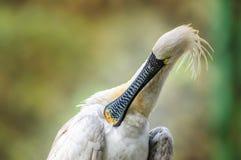 Het Europees-Aziatische Spoonbill leucorodia van Platalea snoeien Royalty-vrije Stock Afbeelding