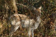 Het Europese Bekroonde hert bekroond is mammifèreartiodactyle het herkauwen van de familie van cervids, mannetje die groot vlak  royalty-vrije stock afbeelding