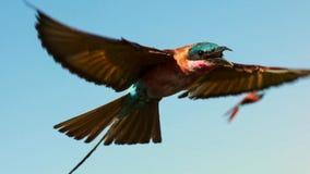 Het Europese bij-eter vliegen van Merops Apiaster stock foto