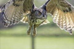 Het Europese Eagle Owl-vliegen royalty-vrije stock foto
