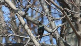 Het Europese of gemeenschappelijke starling (vulgaris Sturnus) zit op een tak en zingt een lied in de vroege lente stock videobeelden