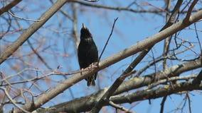 Het Europese of gemeenschappelijke starling zit op een tak en zingt een lied in de vroege lente, vulgaris Sturnus, vogel stock footage