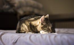 Het Europese gestreepte katkat ontspannen op het bed Stock Afbeelding