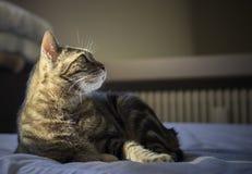 Het Europese gestreepte katkat ontspannen op het bed Royalty-vrije Stock Afbeeldingen