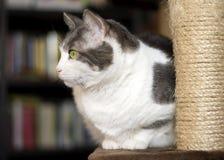 Het Europese witte en grijze kat stellen op de krassende post Royalty-vrije Stock Afbeelding