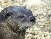Het Europese zijschot van het Otterportret Royalty-vrije Stock Afbeeldingen