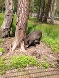 Het everzwijn graaft de grond dichtbij de boom op zoek naar voedsel royalty-vrije stock afbeelding