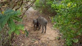 Het everzwijnpaar graaft voor voedsel bij rand van toevlucht in Sri Lanka stock footage
