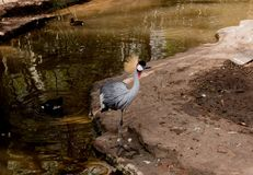 Het exotische vogel stellen door het meer royalty-vrije stock fotografie