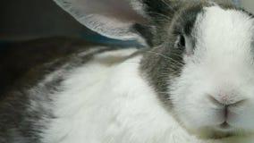 Is het Extream dichte omhooggaande portret van oude konijnrust en neus fiddle 4k lengte stock video