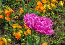 Is het fantasie donkere roze een type van papegaaitulpen, Leliefamilie Liliaceae stock fotografie