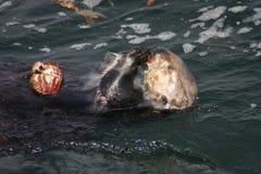 Het feesten Overzeese Otter Royalty-vrije Stock Afbeelding