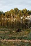 Het Felling van eucalyptus Royalty-vrije Stock Foto's