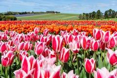 Het Festival van Bloomintulpen - Tasmanige - Australië Stock Fotografie