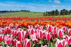 Het Festival van Bloomintulpen - Tasmanige - Australië Stock Afbeeldingen