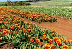 Het Festival van Bloomintulpen - Tasmanige - Australië Stock Foto