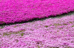 Het Festival van Japan Shibazakura met het gebied van roze mos met Berg Fuji Yamanashi, Japan Stock Afbeelding