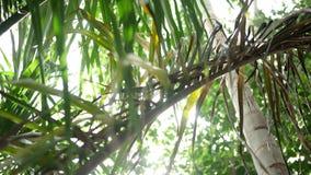 Het filteren omhoog door een dichte tropische luifel met zon die neer glanzen stock videobeelden