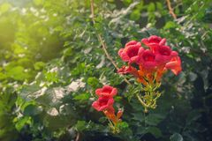 Het Flamencobloemen van de trompetklimplant in tuin royalty-vrije stock foto's