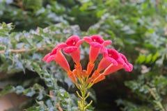 Het Flamencobloemen van de trompetklimplant in tuin stock afbeeldingen