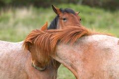 Het fluisteren van het paard Stock Fotografie