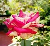 Het fluweel nam in tuin toe Royalty-vrije Stock Afbeeldingen