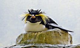 Het fokken rots-vultrechter pinguïn royalty-vrije stock foto's