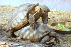 Het fokken van de schildpad Royalty-vrije Stock Foto