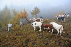 Het fokken van het vee Stock Fotografie