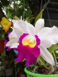 Het fokken van mooie Thaise orchideeën stock afbeeldingen